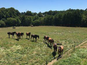 Gite-pompadour-correze-petite-brunie-elevage-chevaux-anglo-arabe-1